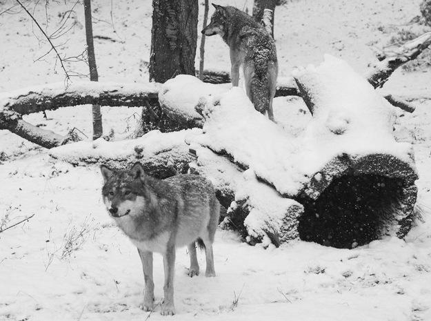 Na początku 1978 roku podjęto decyzję o odstrzale wilków /AFP/